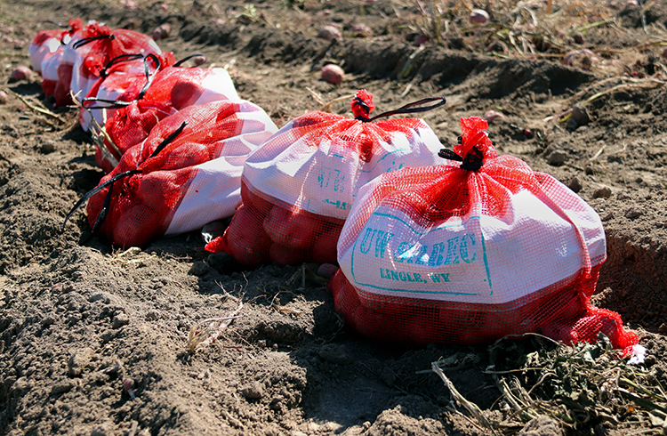 Bags of potatoes in a field.